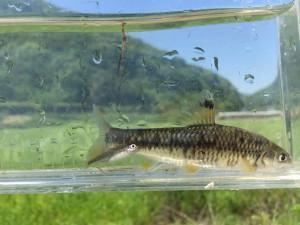 カワヒガイ♀ 胸ビレ川底にしがみつくようにじっとしています