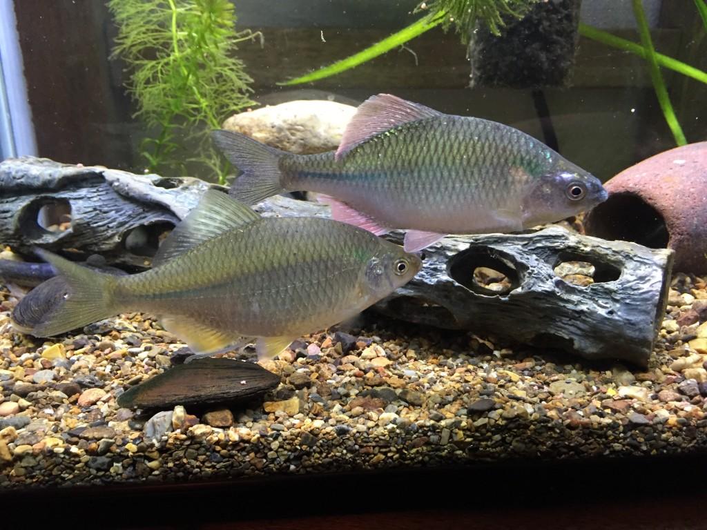 産卵用のマツカサガイとドブガイ。初夏にアブラボテのの稚魚が誕生して二枚貝です。