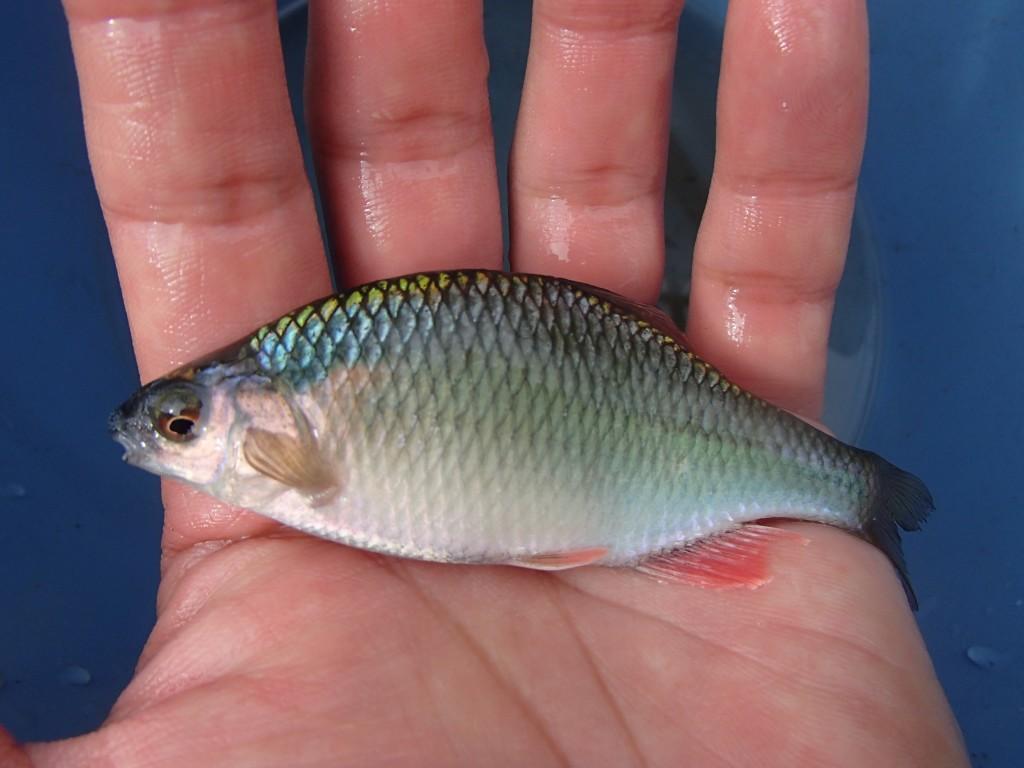 カネヒラ♂。日本のタナゴでは最大。体のブルーが鮮やか。